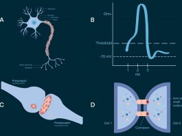 Neuro-electric waves in the brain