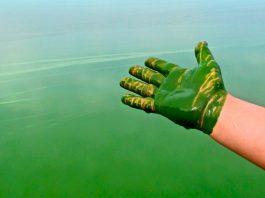 blue-green algae produce oil