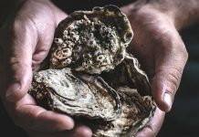 bacteria in oysters