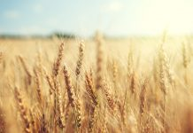 Grasses take evolutionary shortcut with lateral gene transfer