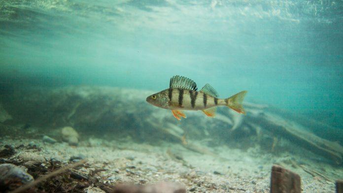 mercury content fish