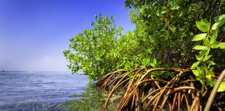 Mangroves endangered by low functional diversity of invertebrates